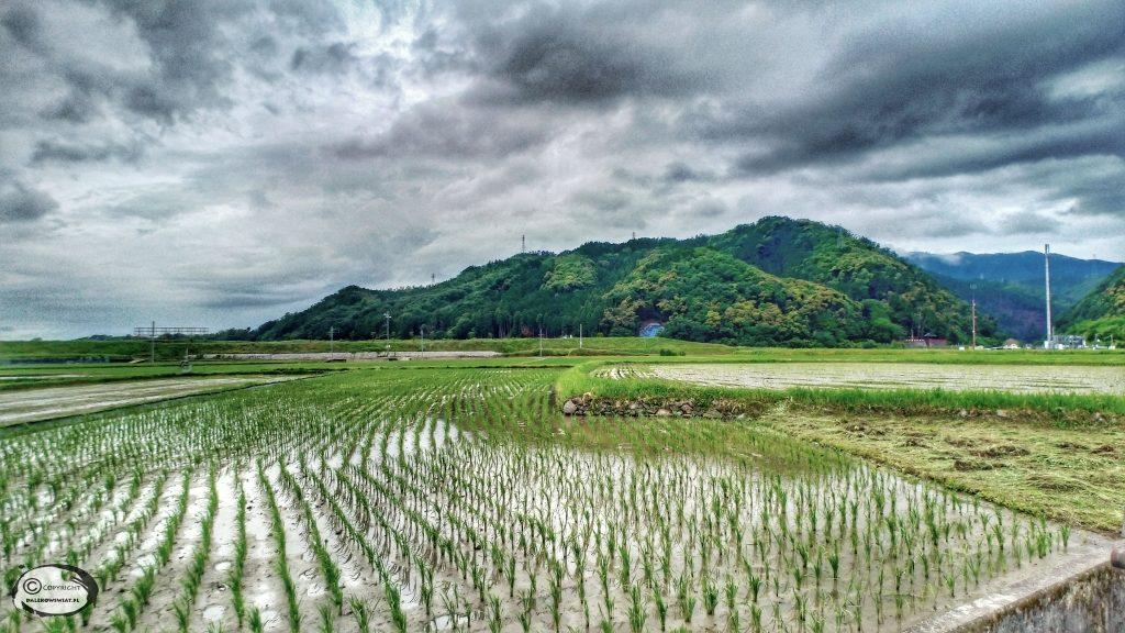 Pola ryżowe w Kioto