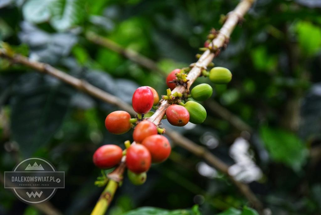 Plantacja kawy w Kolumbii