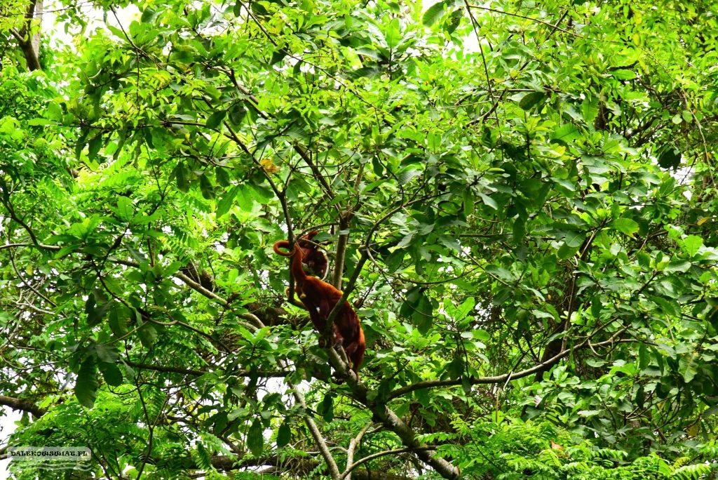 Małpy w Tayrona Park