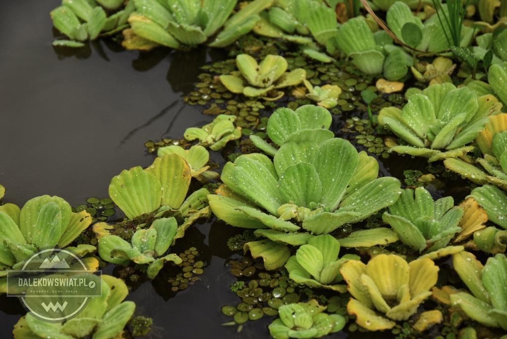 Rośliny wodne w dżungli