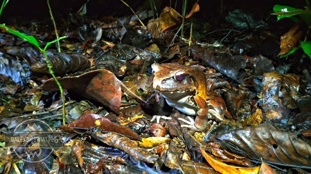 Żaba nocna w dżungli