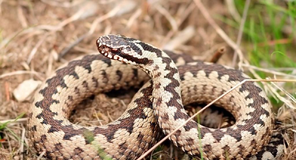 ugryzienie węża